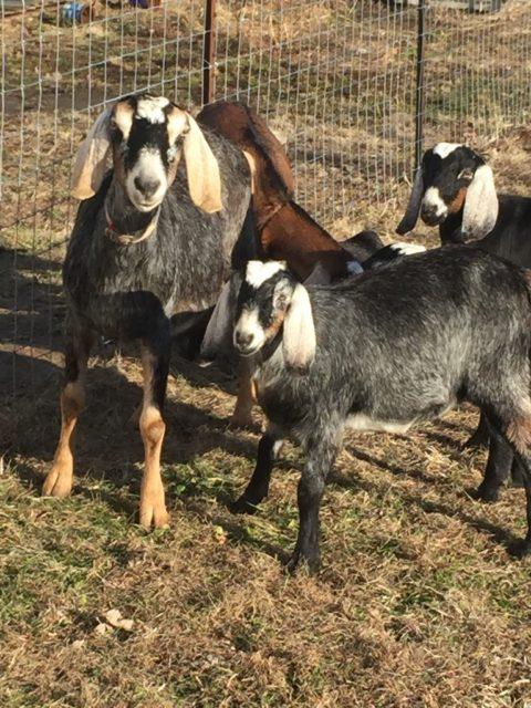 Goat Herd